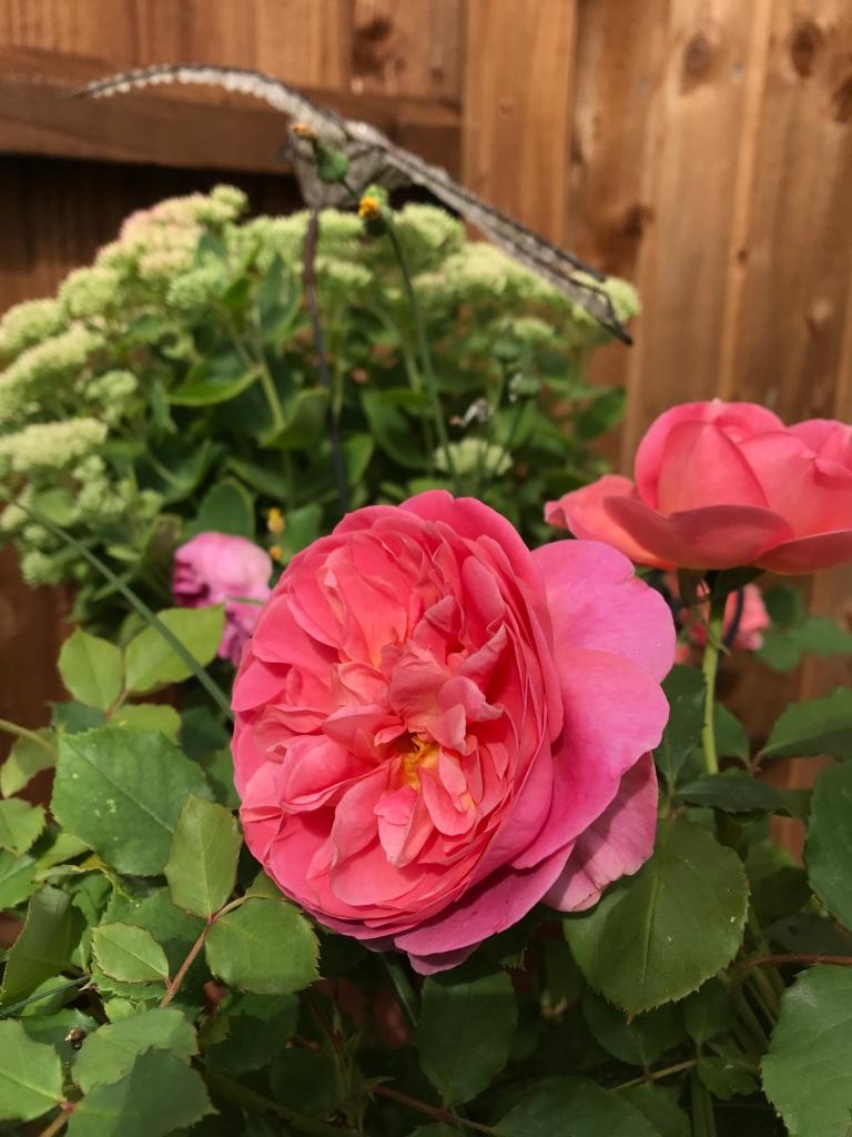 Rose Gertrude Jekyll flowers in September