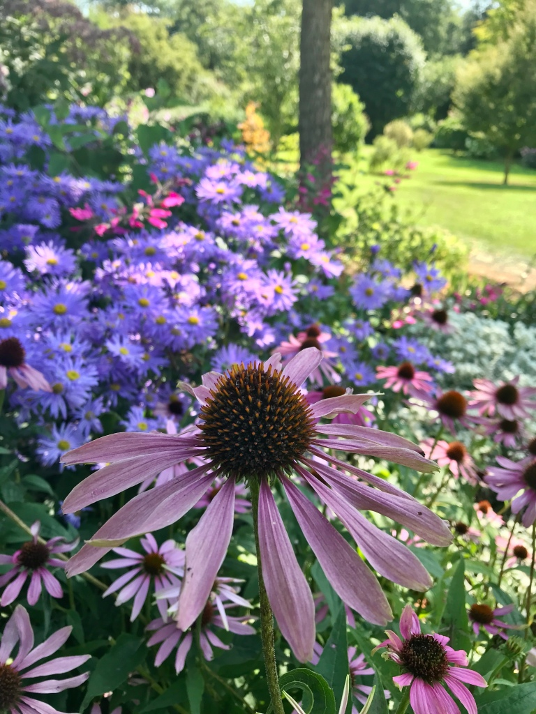 Echinacea flower in a flowery border at Coton Manor Northamptonshire, in early September